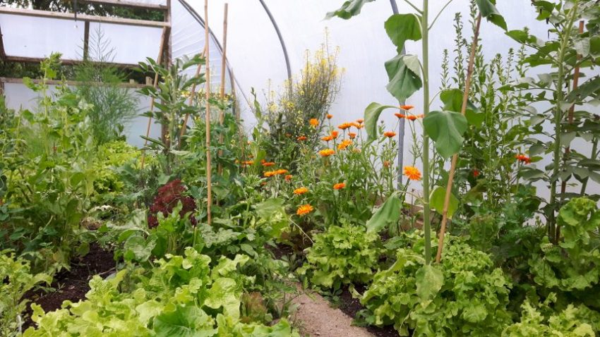 polytunnel view of plants